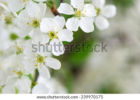 Close up of the spring cherry flower