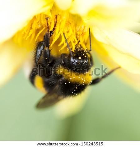 Close up on a honeybee sitting on wild flower  - stock photo