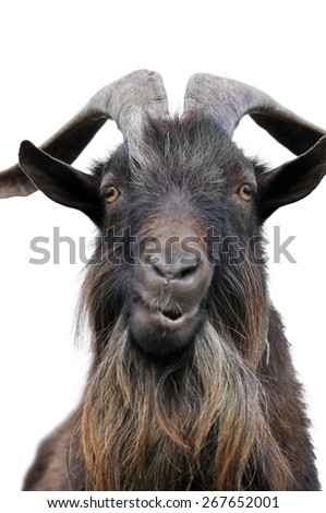 close-up portrait of a goat, looking at camera,isolated on white - stock photo