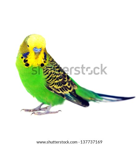 close-up portrait of  budgerigar on white - stock photo