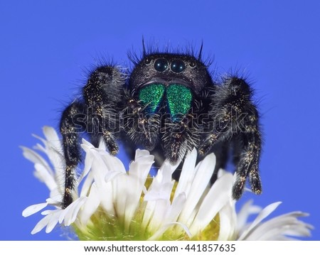 Close- up view of a Bold Jumping spider (Phidippus audax) on a wild daisy fleabane flower. - stock photo