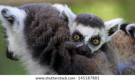 Close-up view of a young Ring-tailed lemur (Lemur catta) - stock photo