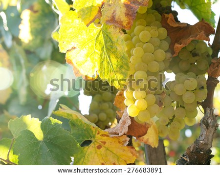close up view of nice  fresh white grape in nature - stock photo