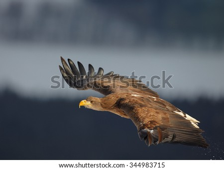 Close up White-tailed Eagle hovering over a winter meadow covered by snow with distant winter forest and landscape in background.