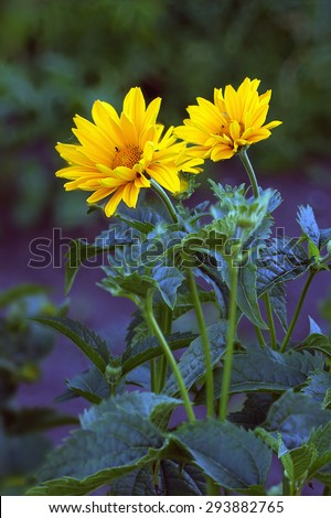 Close view of Arnica herb  blossoms . - stock photo
