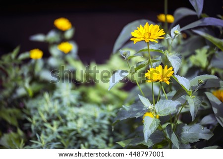 Close view of yellow Arnica herb  blossoms  - stock photo
