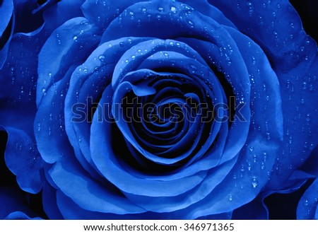 Closeup of a Blue Rose