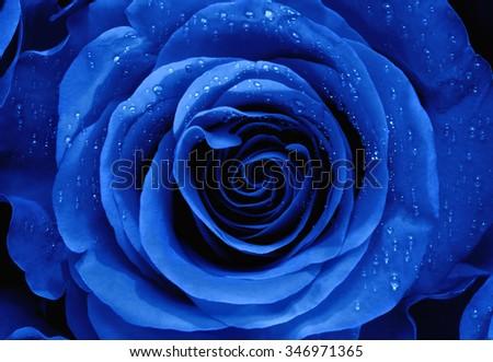 Closeup of a Blue Rose - stock photo