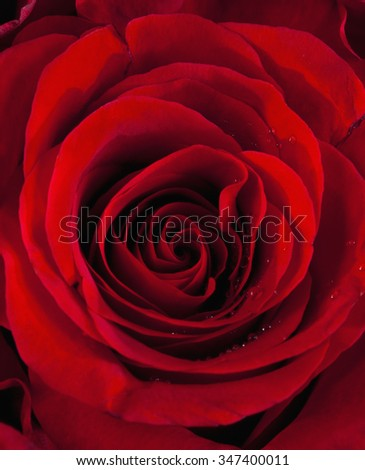 Closeup of a Red Rose - stock photo