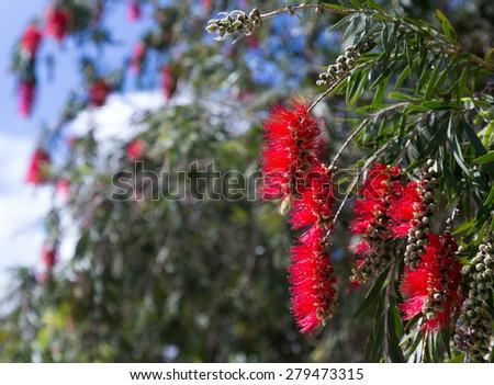 Closeup of blooming Callistemon viminalis in spring - stock photo