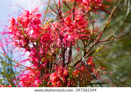 Closeup of blooming Grevillea plant in spring - stock photo