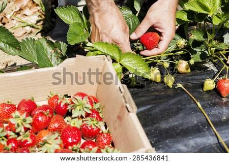 Closeup of man hands picking beautiful red strawberries - stock photo