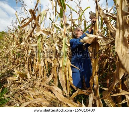 Closeup of senior woman farmer harvesting corn traditionally - stock photo