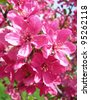 Closeup on blossoms of hot pink flowering tree in spring - stock photo