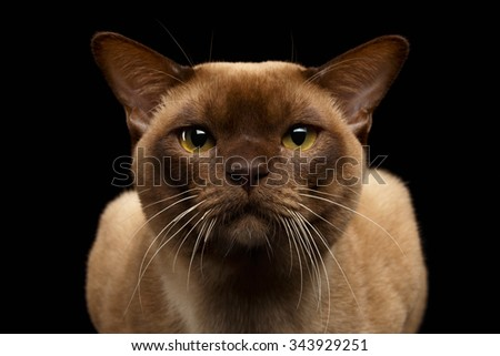 Closeup Portrait of Burma Cat with Gaze Looking in Camera on Black background - stock photo