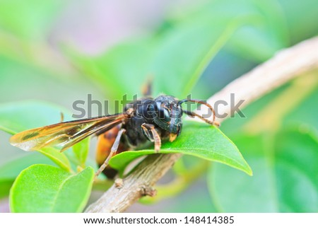 Closeup wasps are aggressive insects on the leaf