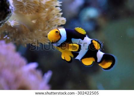 Clown Fish in anemone  - stock photo
