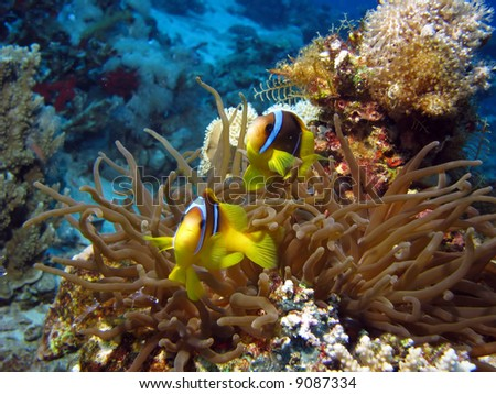2 Clownfish and Sea Anemone. shot in the Red Sea - stock photo