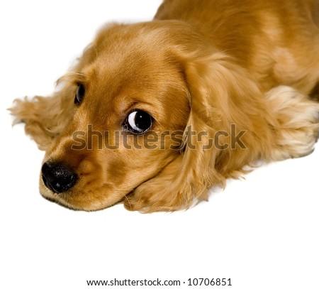 cocker spaniel - stock photo