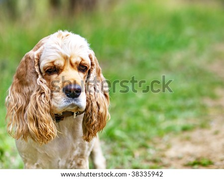 Cocker spaniel on the grass