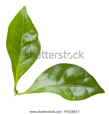 coffee green fresh leaves close up macro shot isolated on white background - stock photo