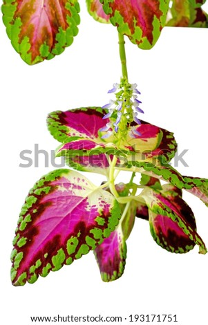 Coleus  is a genus of flowering plants in the family Lamiaceae, native to tropical Asia and Australia. Some species are cultivated for their highly variegated leaves                              - stock photo