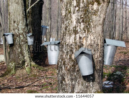 Collecting sap to make maple syrup in    the springtime