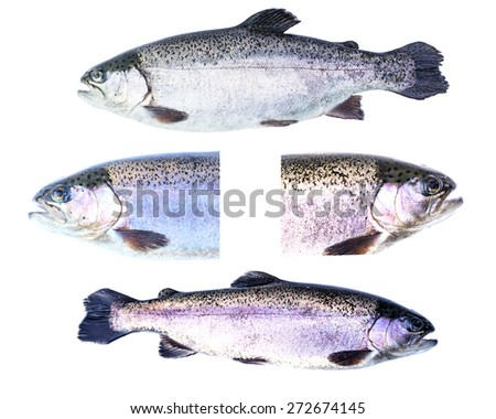 Collection of Rainbow trout (Oncorhynchus mykiss) females isola - stock photo