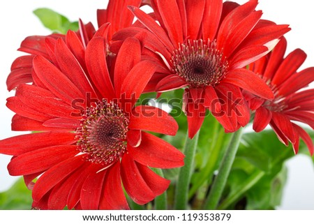 colorful red daisy gerbera flower - stock photo