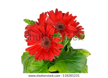 colorful red daisy gerbera (gerber) flower on white background - stock photo