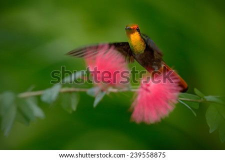 Colorful Ruby-Topaz Hummingbird from Tobago flying next to beautiful pink flower - stock photo