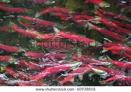 Colorful Spawning Salmon swimming in river - stock photo