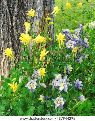 Colorful   yellow and blue  Columbines in crested butte, colorado