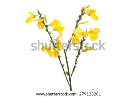 Common broom (Cytisus scoparius), flowers and foliage isolated against white - stock photo