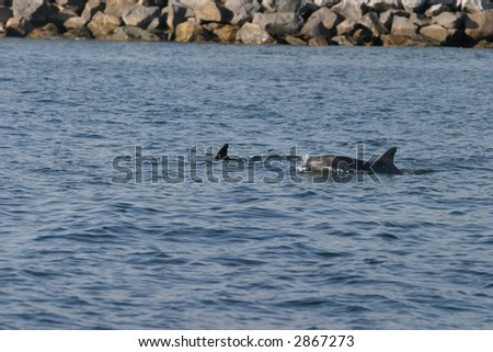 """""""Common Dolphin""""  """"Delphinis delphis"""" lives, swims and plays off the coast of """"dana point"""" california - stock photo"""