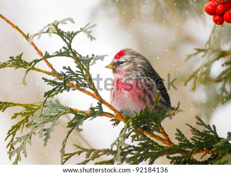 Common Redpoll bird, male, perched on a branch in the winter with snow falling, and red berries.