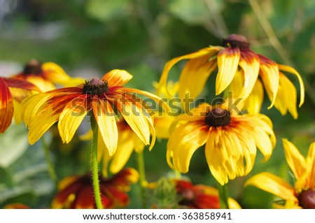 cone flowers on flowerbed closeup, local focus, shallow DOF  - stock photo