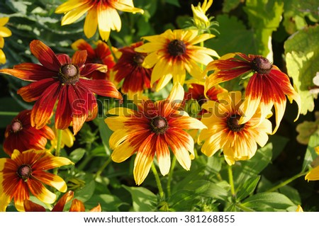 cone flowers on flowerbed closeup, local focus, shallow DOF