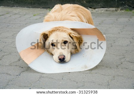 Convalescent dog with funnel after surgery - stock photo