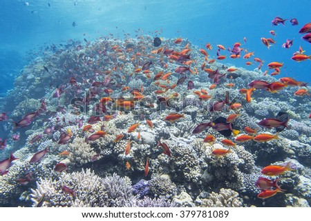 coral reef with shoal of exotic  fish anthias at the bottom of tropical sea, underwater - stock photo