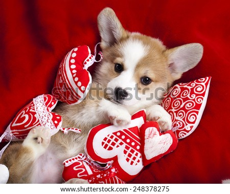 corgi puppy - stock photo