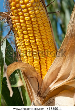 Corn field at harvest time - stock photo