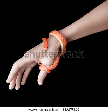 Corn snake wrapped around a woman hand isolated on black - stock photo