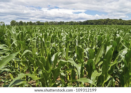 """Cornfield Wide View"" A wide angle view of a cornfield with a dramatic sky in Central, New Jersey. - stock photo"