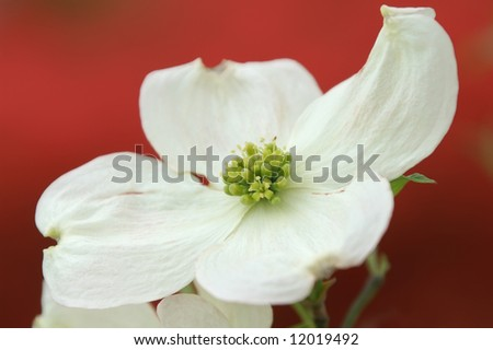 (Cornus Florida) Dogwood Blossom Macro With Brilliant Red Background Horizontal - stock photo