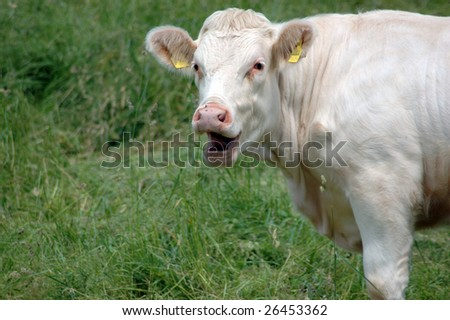 Cow surprised and smiles - stock photo