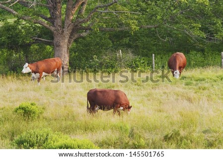Cows grazing on farm in Rockport, Maine. - stock photo