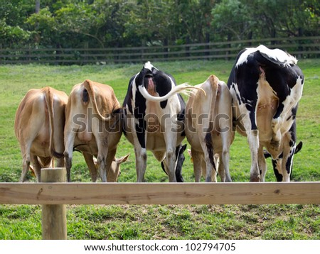 5 cows on the grassland of a ranch and showing their butts to the camera. - stock photo