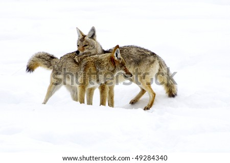 """Coyote Courtship"" - Its mating season for coyotes in Yellowstone National Park and this coyote pair are doing a courtship dance that repeats itself every February and March. - stock photo"
