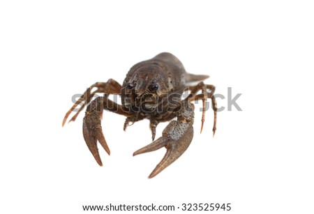 Crayfish isolated on white - stock photo